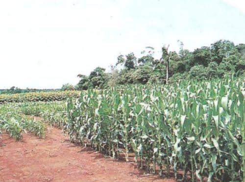 Cultivo producido genéticamente
