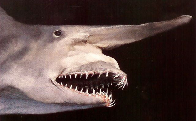 tiburon-duende