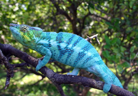 Cameleon - Madagascar