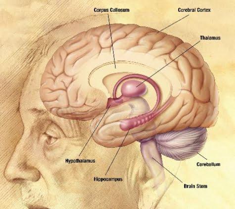 El equilibrio y el cerebro