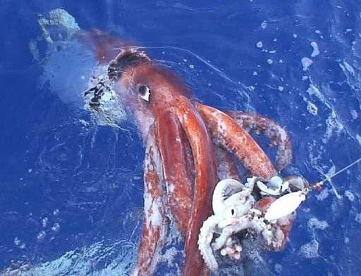 Pulpo gigante del Pacifico