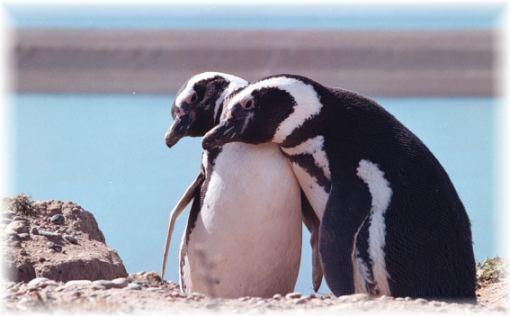 Pingüinos Magallanes