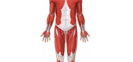 Aparato muscular