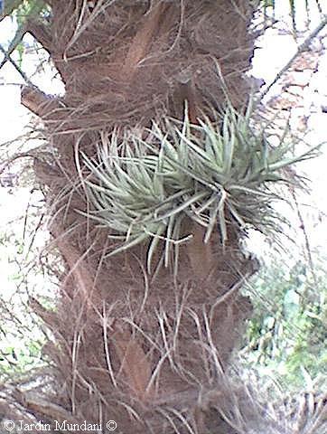Clavel del aire. Planta epífita.