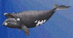 Ballena franca del Pacífico